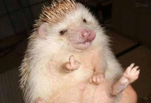 "Hedgehog: ""FahQ!"""