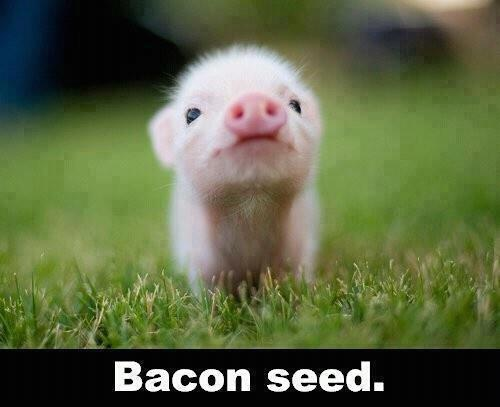 Bacon Seed