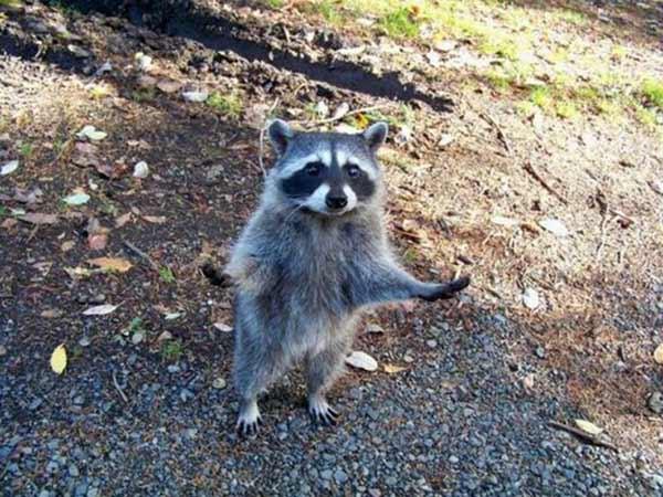 "Raccoon: ""Why do you always blame me?!"""