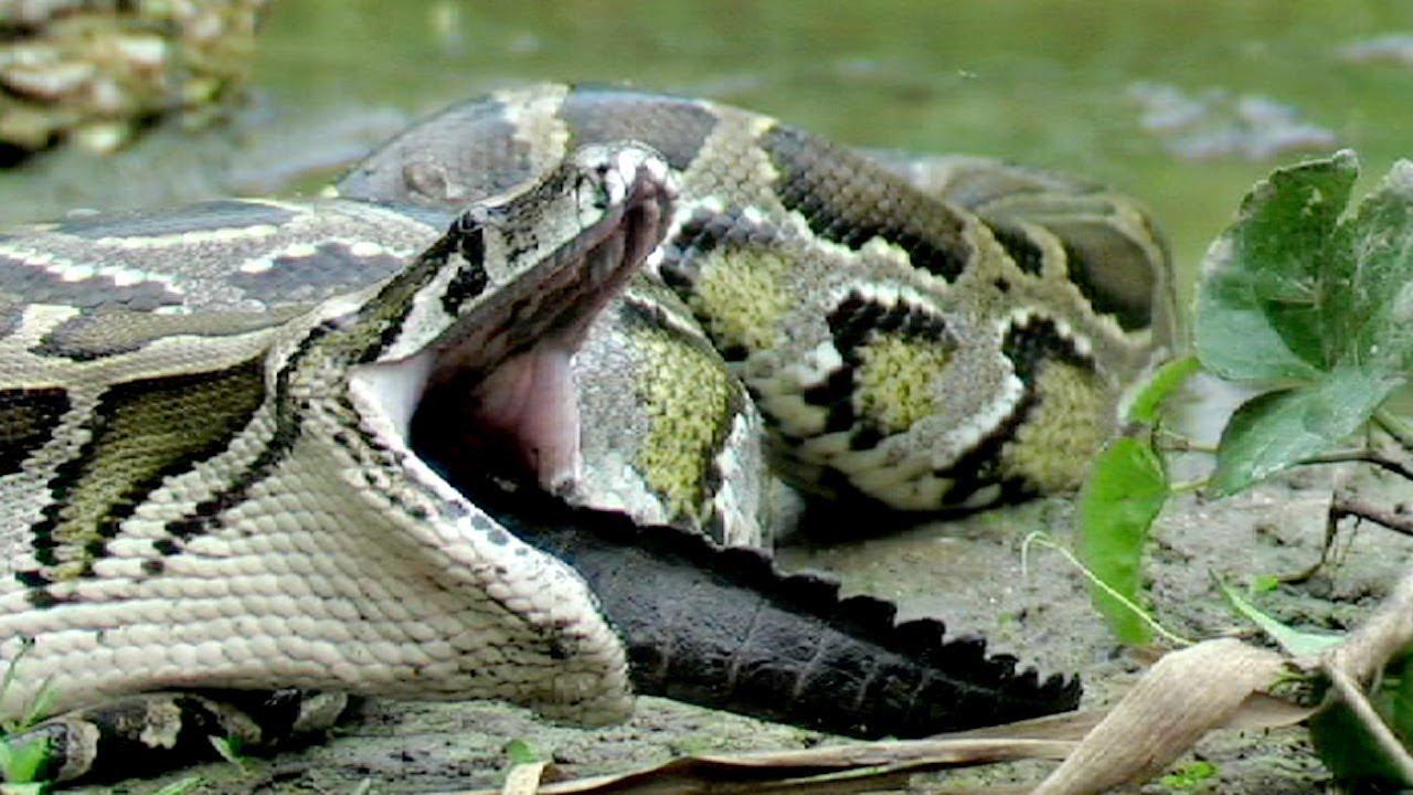 Python Eats Florida Alligator